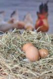 Huevos en el huevo del nestfresh Foto de archivo