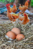 Huevos en el huevo del nestfresh Fotografía de archivo