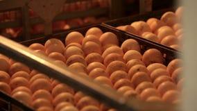 Huevos en incubadora en la granja de pollo Cierre para arriba almacen de video