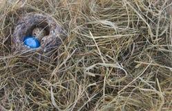 Huevos en la jerarquía en el fondo de la hierba seca Foto de archivo libre de regalías