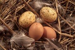 Huevos en paja con las plumas Imagen de archivo