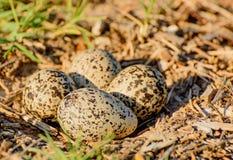 4 huevos en una jerarquía de tierra Fotografía de archivo