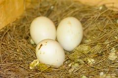 3 huevos en una pila de paja Imagen de archivo libre de regalías