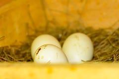 3 huevos en una pila de paja Fotos de archivo