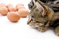 Huevos gaurding del gato Foto de archivo libre de regalías
