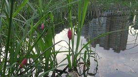 huevos 4K del canaliculata de Pomacea en una planta del lago en la ciudad de Taipei metrajes