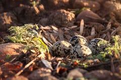 Huevos manchados del tipo de tero norteamericano y una salida del sol de la mañana imágenes de archivo libres de regalías