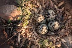 Huevos manchados del tipo de tero norteamericano y una salida del sol de la mañana imagenes de archivo