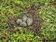 Huevos meridionales de la avefría fotos de archivo libres de regalías