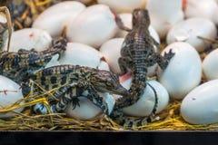 Huevos para incubar del cocodrilo de la incubación recién nacida del bebé que mienten en la paja fotos de archivo