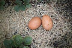Huevos puestos frescos fotografía de archivo