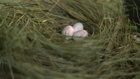 Huevos rosados blancos en una jerarquía de la hierba