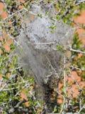 Huevos y larvas maduras, orugas de tienda occidentales que son moderado orugas clasificadas, o larvas de la polilla, género Malac fotos de archivo