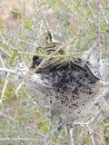 Huevos y larvas maduras, orugas de tienda occidentales que son moderado orugas clasificadas, o larvas de la polilla, género Malac imagen de archivo