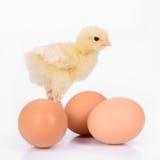 Huevos y pollo Foto de archivo