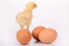 Huevos y pollo Fotografía de archivo