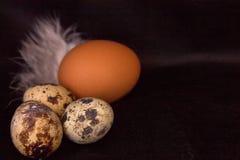 Huevos y pollo de codornices con las plumas en un fondo negro Extracto Fotografía de archivo libre de regalías