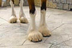 Hufe des Clydesdale Pferds Lizenzfreie Stockfotografie