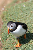 Huffin' and a Puffin Stock Images