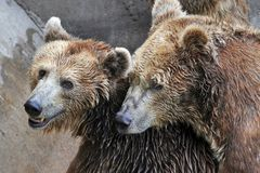 Hug of brown bear Royalty Free Stock Image