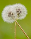 Hug of dandelion Stock Photos