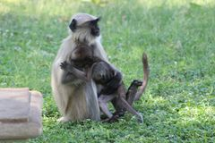The hug of mother monkey with his baby royalty free stock photos