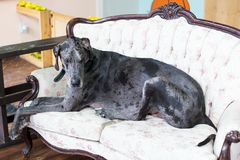 Huge adult merle Great Dane lying on camel back cream sofa Stock Image