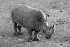 A huge adult rhinoceros with a thick skin and a large horn, a black and white photograph. Royalty Free Stock Photos