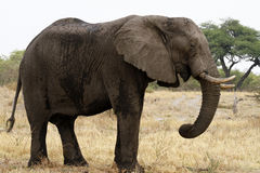 Huge African Bull Elephant Royalty Free Stock Photo