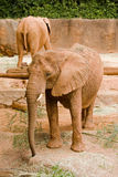 Huge african elephant Stock Images
