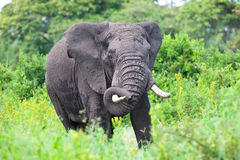 Huge African elephant bull Stock Photography