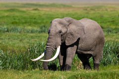 Huge African elephant bull. In the Ngorongoro Crater, Tanzania Royalty Free Stock Photography