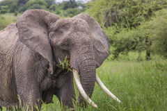 Huge African elephant bull in the Tarangire National Park, Tanza Royalty Free Stock Photography