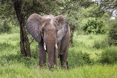 Huge African elephant bull in the Tarangire National Park, Tanza Stock Image