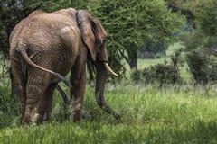 Huge African elephant bull in the Tarangire National Park, Tanza Royalty Free Stock Photos