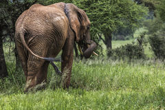 Huge African elephant bull in the Tarangire National Park, Tanza Stock Images