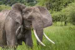 Huge African elephant bull in the Tarangire National Park, Tanza Stock Photos