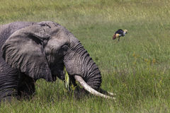 Huge African elephant bull in the Tarangire National Park, Tanza Royalty Free Stock Images