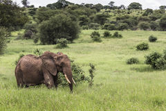 Huge African elephant bull in the Tarangire National Park, Tanza Stock Photography