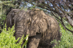 Huge African elephant bull in the Tarangire National Park, Tanza Stock Photo