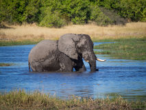 Huge African elephant bull wading through and drinking from river water, safari in Moremi NP, Botswana Stock Photo