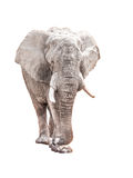 Huge african elephant isolated on white background.  Royalty Free Stock Image