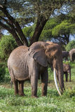 Huge african elephant with long tusks. Kenya, Africa Royalty Free Stock Photos