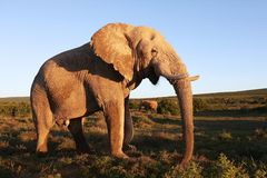 Huge African Elephant Male Royalty Free Stock Photography