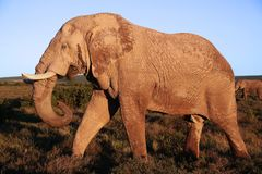 Huge African Elephant Male Stock Photos