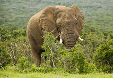 Huge African elephant Stock Image