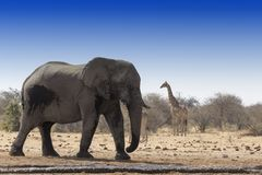 Huge african elephant in namibia. Savannah royalty free stock photo