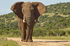 Huge African elephant in the road Stock Photo