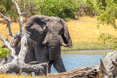 Huge African Elephant. African elephant on the shore of the river Royalty Free Stock Photos