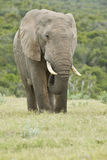 Huge African elephant standing and eating grass Royalty Free Stock Photo